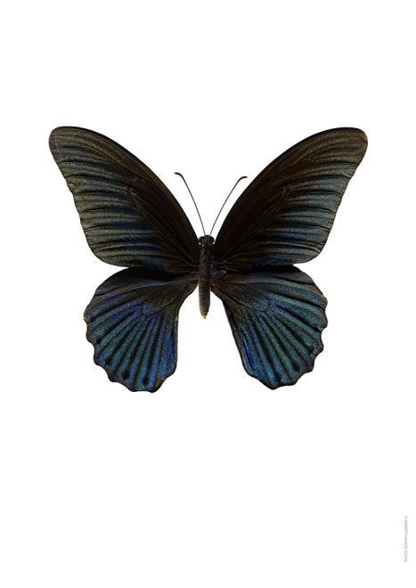 Makro-Fotografie Papilio memnon